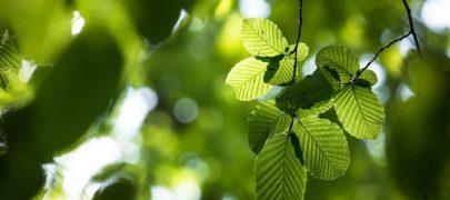 Erametsaliit: plaanitava puidurafineerimistehase tooraine on erametsas olemas