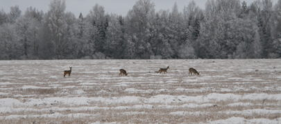 Metsloomad aitavad metsasidet hoida
