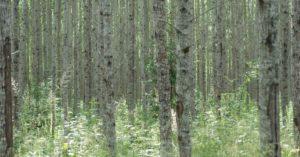hooldusraie, noor mets, metsakasvatus