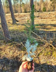 metsauuendus, metsa istutamine, metsataim, vahatatud taim