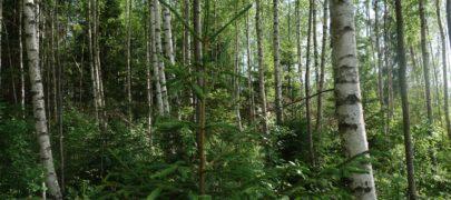 Eesti Erametsaliit taunib metsaomanikke ja riiki petvaid kokkuostjaid