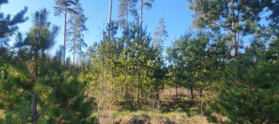 Säästva metsanduse sertifitseerijad ei pea eestlasi Eesti põlisrahvaks