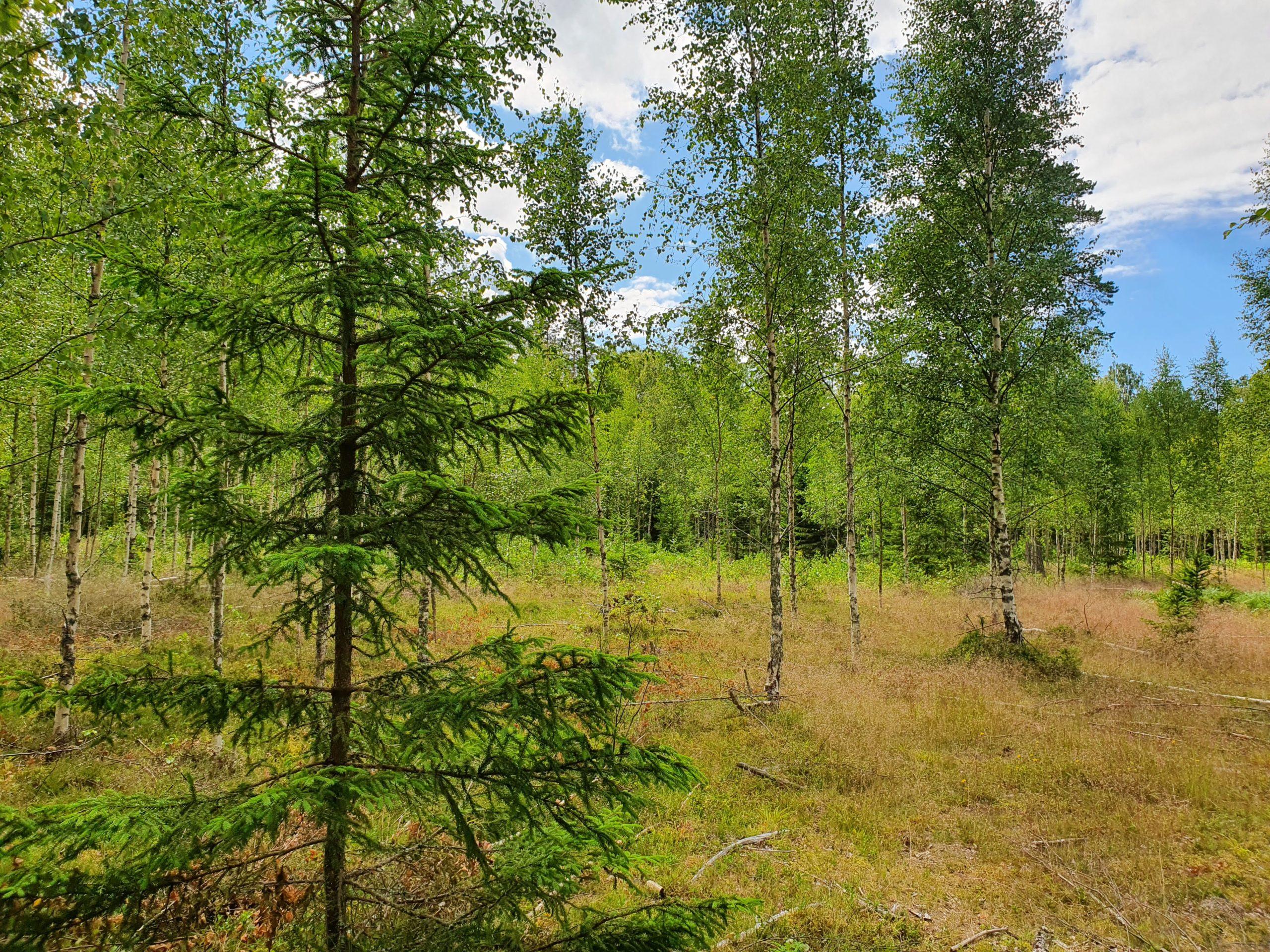 Möödunud aastal istutati Eesti metsadesse ligi 39 miljonit puud